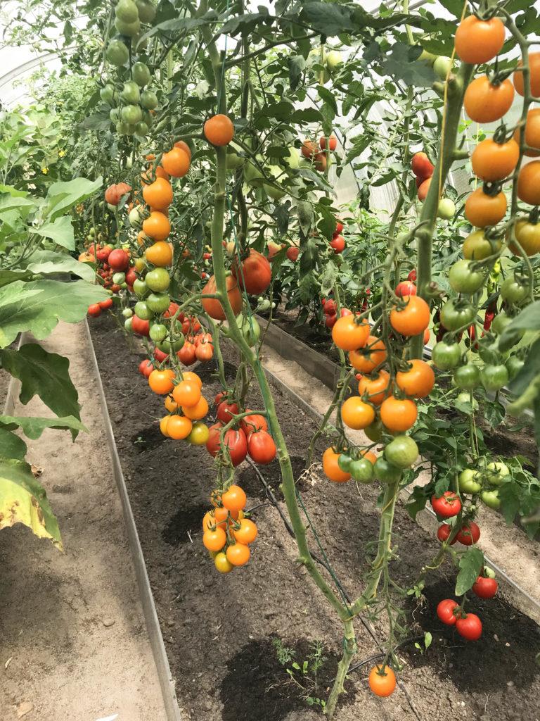 teplichka_pomidor_gal111