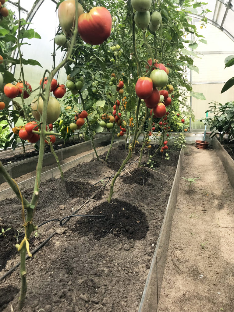 teplichka_pomidor_gal11522